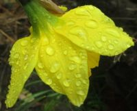 DAFF AFTER THE RAIN