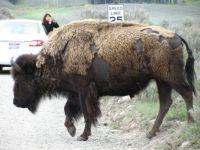 Bison @ Yellowstone