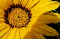 sunflower with ant