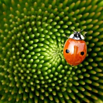 Ladybug on the coneflower.