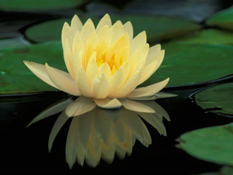 Hybrid_Water_Lily