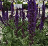 Bursts of Purple Salvia at the garden centre
