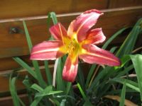 Last Daylily flower on my plant (for this season)