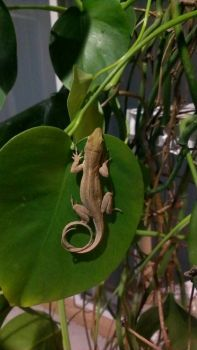 Lizard With A Curly Tail