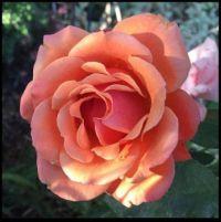 ~Beautiful Rose~
