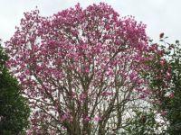 Magnolia in bloom.