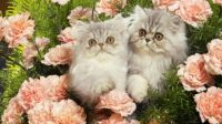 Fluffy Persian Kittens