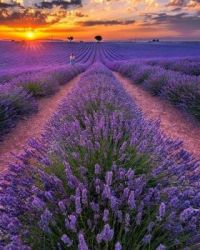 French Lavender morning