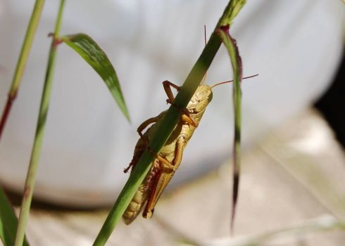 Hopper on grass