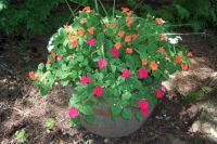 whiskey barrel impatiens