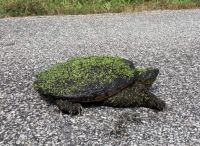 Snapping Turtle 'assist' off the road