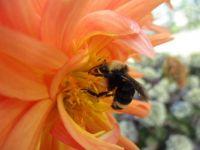 Bumblebee in a Dahlia