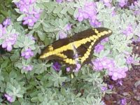 Butterfly on Flowering Sage