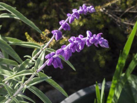 Velvety Purple Salvia in late Autumn in Australia