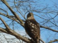 Hawk in our Tree