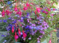 Fuchsia and lobelia