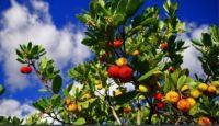 Algarve fruit