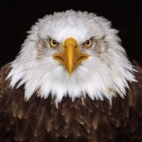 1  ~  'Bald Eagle.' (Zeearend)