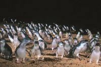 Penguin Parade