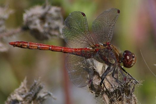 This Dragonfly was on the Elmley National Nature reserve, Kent.  Photo by Glyn Baker