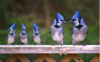 A BLUEJAY FAMILY...