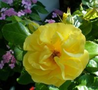 my new yellow rose