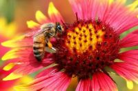 photo credit A honey bee on Indian blanket flower. TexasEagle, via Flickr. CC BY-NC 2.0