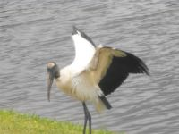 awesome wood stork
