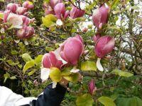 kæmpe tulipaner i Sverige