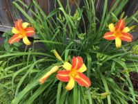 My day lilies photo 1