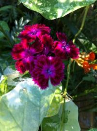 Deep Red Carnation Dianthus