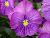 2  ~  'Pinkish Pansies'