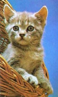 Pets  Kitten on Playing Card