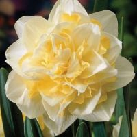 Narcissus 'White Lion' double daffodil