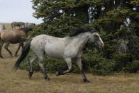 pryor mountain stallion  MATO