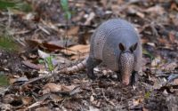Armadillo, North Florida