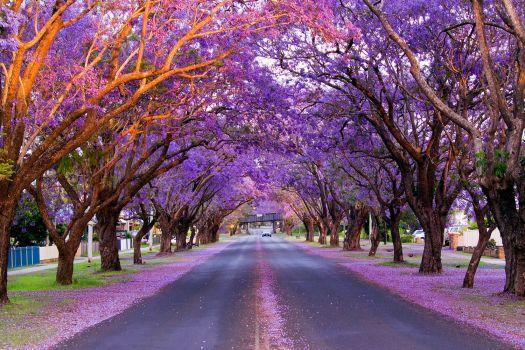 Jacaranda trees, Grafton, NSW, Australia