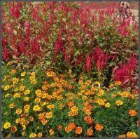 Barevná kombinace květin...  Color combination of flowers ...