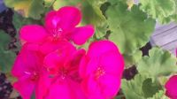 GLOWING GERANIUM