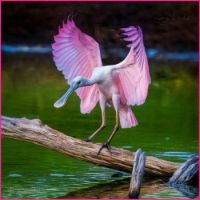 Spoonbill makes perfect  landing