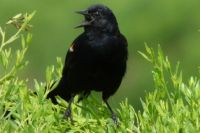 Red-winged blackbird at Celery Fields
