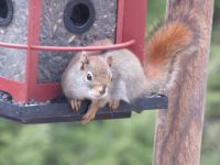 Maine baby red squirrel