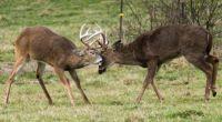 Bucks fighting