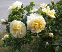 Rosa rugosa 'Agnes'