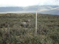 Greater Rhea Argentina