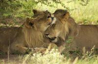 Verliefde leeuwen