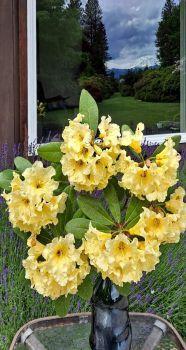 Rhododendron Karalee