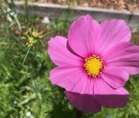 Sunday's pink wild flower