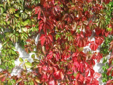 Divja trta jeseni - Grape ivy in autumn