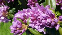lilla rododendron